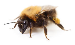 Bumblebee on white. Stock Photos