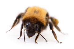 Bumblebee on white. Royalty Free Stock Photography