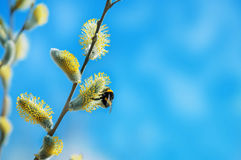 Bumblebee on willow branch Royalty Free Stock Photo