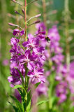Bumblebee and willow-herb Royalty Free Stock Image
