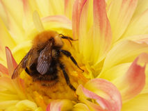 The bumblebee wishes to escape Stock Photo