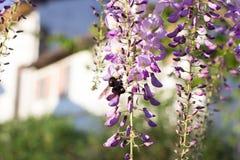 Bumblebee on Wisteria Stock Photography