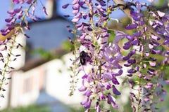 Bumblebee on Wisteria Royalty Free Stock Photo
