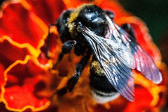 The bumblebee at work (Bombus) Stock Photography