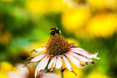 The bumblebee at work (Bombus) Royalty Free Stock Photography