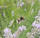 Bumblebee at work. Pollen harvest, bumblebee loaded pollen Royalty Free Stock Photos