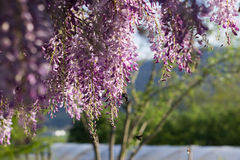 Bumblebee on Wysteria Flowers Stock Image