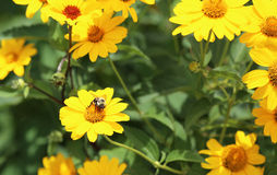 Bumblebee on Yellow daisy Stock Images