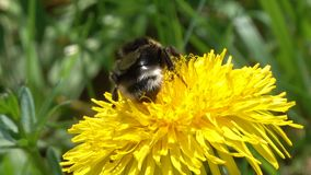 Bumblebee on yellow dandelion flower. Closeup at spring stock video footage