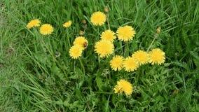 Bumblebee on yellow dandelions stock video footage