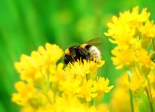 Bumblebee on Yellow Flower. Bumblebee Collecting Pollen from Yellow Flower Stock Photography