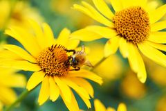 Bumblebee on yellow flower Stock Image