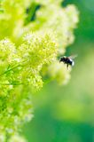 Bumblebee on a yellow flower Stock Photography