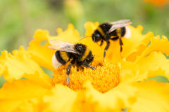 Bumblebee on a yellow flower collects pollen, selective focus royalty free stock image