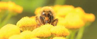 Bumblebee on yellow flower Royalty Free Stock Photos