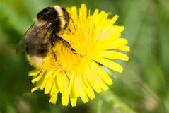 Bumblebee on yellow flower Royalty Free Stock Photo