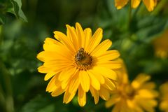 Bumblebee on a yellow flower royalty free stock photos
