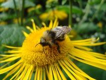 Bumblebee on yellow flower. Macro photo. stock illustration