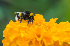 Bumblebee on yellow flower. Macro. Bumblebee on yellow flower of tagetes Royalty Free Stock Images
