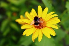 Bumblebee on the big yellow flower. Summertime. Preparing for the cold winter. they collect the honey, but never enjoy it stock photography