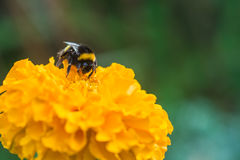 Bumblebee on yellow flower. Of tagetes Royalty Free Stock Image
