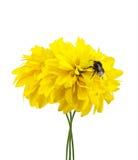 Bumblebee on the yellow flowers.  Stock Photo