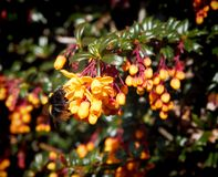 Bumblebee on yellow flowers. Of Berberis darwinii Royalty Free Stock Image