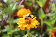 Bumblebee on yellow zinnia flower. Flowerbeds at Highland park, Rochester, New York. Close up in garden stock image