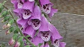 Bumblebee z menchia kwiatem zdjęcie wideo