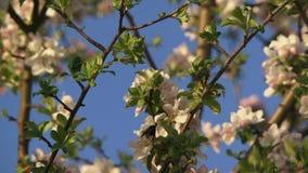 Bumblebee Zapyla Apple zbiory wideo