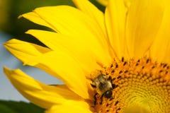 Bumblebee zapyla pięknego słonecznika Fotografia Stock