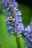Bumblebee zapyla Pickerelweed Fotografia Stock
