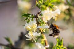 Bumblebee zbiera nektar Fotografia Stock