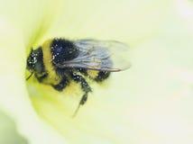 Bumblebee zbiera nektar na kwiatu roślinach łąki i pola - kwitnąć ślaz Zdjęcia Royalty Free