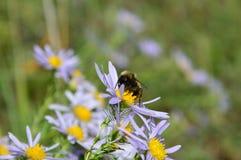 Bumblebee zbiera nektar od błękitnego chamomile Zdjęcie Stock