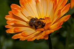 Bumblebee zbiera nektar od calendula kwiatu Zwierzęta w przyrodzie Fotografia Royalty Free