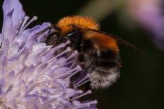 Bumblebee zbiera nektar od knautia kwiatu Zwierzęta w przyrodzie Obrazy Stock