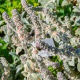Bumblebee zbiera nektar od kwiatów kwitnąć Stachys zdjęcie stock