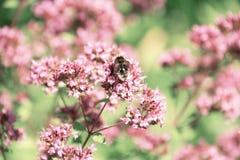 Bumblebee zbiera nektar od kwiatów mennica Fotografia Stock