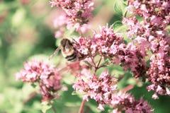 Bumblebee zbiera nektar od kwiatów mennica Obraz Stock