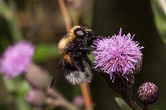 Bumblebee zbiera nektar od osetu kwiatu Zwierzęta w przyrodzie Zdjęcie Royalty Free