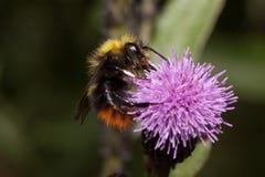 Bumblebee zbiera nektar od osetu kwiatu Zwierzęta w przyrodzie Obraz Stock