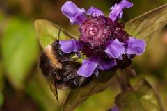 Bumblebee zbiera nektar od prunella vulgaris Zwierzęta w przyrodzie Zdjęcia Royalty Free
