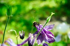 Bumblebee zbiera pollen na kwiatach obraz royalty free
