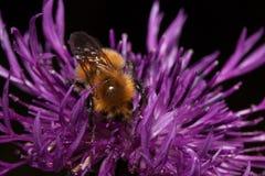 Bumblebee zbiera pollen od osetu kwiatu Zwierzęta w przyrodzie Fotografia Royalty Free