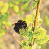 Bumblebee zbieracki nektar na kwiatonośnych kwitnących kwitnie kici wierzby krzaka krzaka kwiatach rozgałęzia się, pszczoła, ampu Obrazy Royalty Free