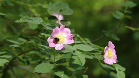 Bumblebee zbieracki nektar na Rosa canina psie wzrastał, wrzosa kwiatu zbliżenie zbiory wideo