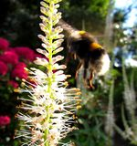 Bumblebee zbliża się kwiatu Zdjęcia Royalty Free