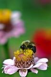 Bumblebee on zinnia. Close-up macro of bumblebee on pink zinnia Stock Image