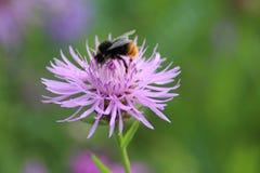 Bumblebeen στο λουλούδι Στοκ Εικόνες